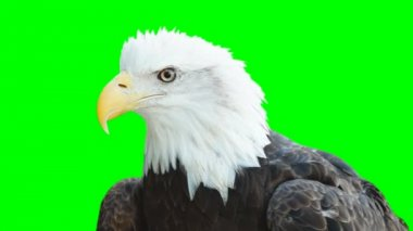 American Bald Eagle — Stock Video