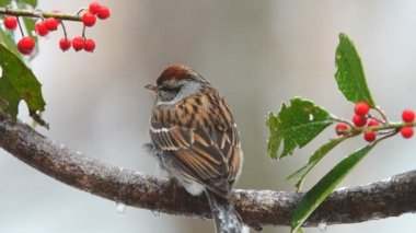 Chipping Sparrow Snowstorm — Stock Video