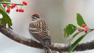 Chipping Sparrows — Stock Video