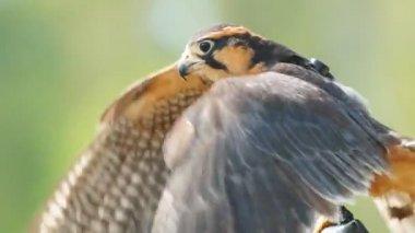 Aplomado Falcon — Stock Video