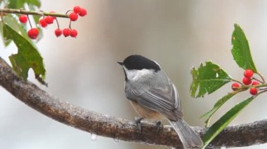 Carolina Chickadee — Stock Video