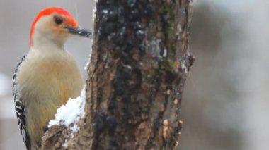 Red-bellied Woodpecker — Stock Video