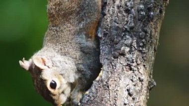 Grey Squirrel — Stock Video