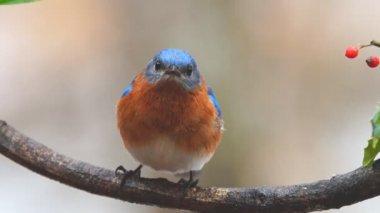 Eastern Bluebird Male — Stock Video