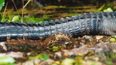 American Alligator basking in south Georgia swamp — Stock Video