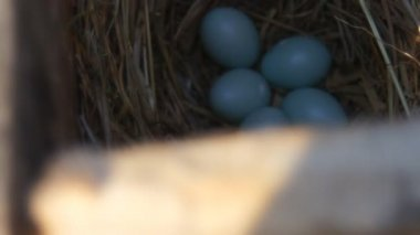 Bird eggs in a nest — Vidéo