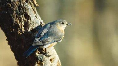 Eastern Bluebird — Stock Video