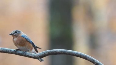 Eastern Bluebird — Stock Video