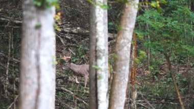 Whitetail Deer mature bucks — Stock Video