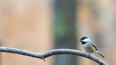 Black-capped Chickadee — Stock Video