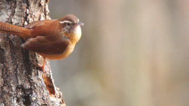 Carolina Wren — Stok video