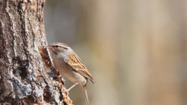 Chipping Sparrow — Stock Video