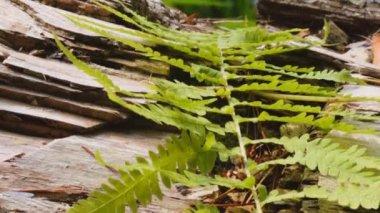 Fern on southern appalachian fallen old log — Stock Video