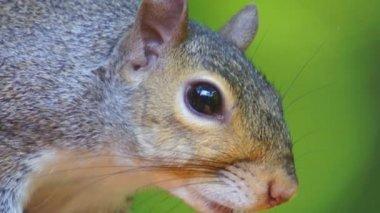 Grijze eekhoorn — Stockvideo
