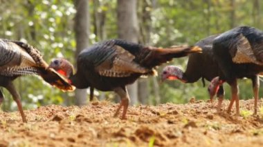 Wild turkeys feeding — Stock Video