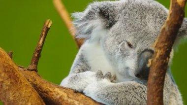 Koala — Stock Video