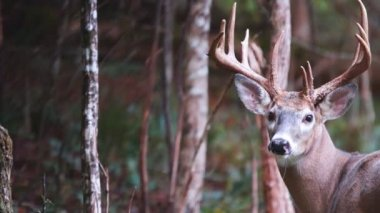 Whitetail Deer mature bucks — Stock Video