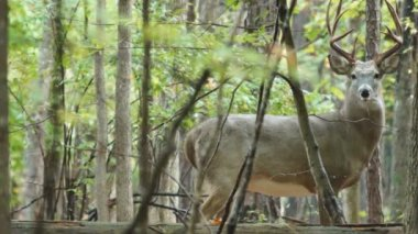 Whitetail Deer mature buck — Stock Video