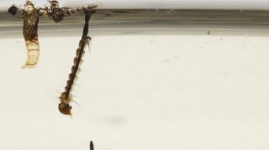 Asian Tiger Mosquito Larvae and Pupae in polluted water — Stock Video