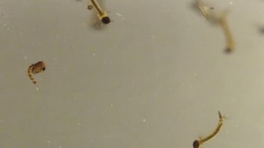 Asian Tiger Mosquito Larvae and Pupae — Stock Video