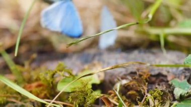 Blue butterflies mating in Georgia — Stock Video