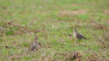 Popular sport hunting migratory bird — Stock Video