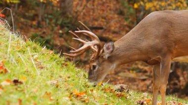 オジロ鹿シカは 10 月に木びき台を成熟します。 — ストックビデオ