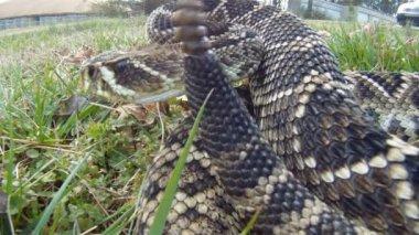 Eastern Diamondback Rattlesnake — Stock Video