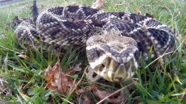 Eastern Diamondback Rattlesnake strike — Stock Video