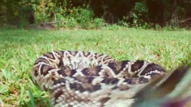 Eastern Diamondback Rattlesnake bites camera — Stock Video