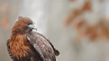 Red-tailed Hawk — Stock Video