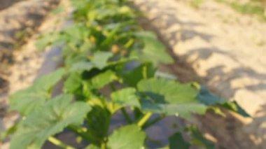 Yellow squash vegetable growing — Stock Video