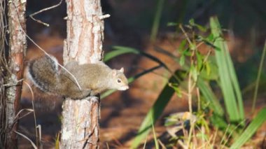Grey Squirrel in Florida upland Pine forest. — Stock Video