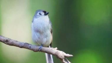 Tufted Titmouse — Stock Video