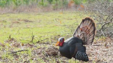 Wild Turkey — Stock Video