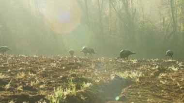 Wild Turkeys feeding at sunrise — Stock Video