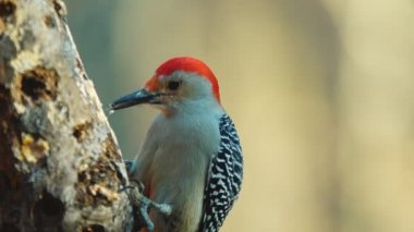Red-bellied Woodpecker — Stock Video