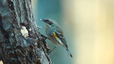 Yellow-rumped Warbler — Stock Video