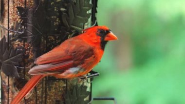 Northern Red Cardinal — Stock Video