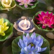 Beautiful lotus flowers — Stock Photo