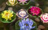Beautiful lotus flowers — Stock Photo