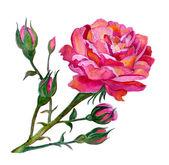 Pink watercolor rose — Stock Photo