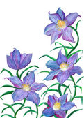 Clematis watercolor illustration — Stock Photo