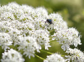 Fly on white flowers — Stock Photo