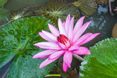 This beautiful waterlily or lotus flower is complimented — Foto de Stock