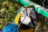 Blue-and-gold macaw behind bars — Stock Photo