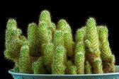 Cactus Isolated On Black Background — Stock Photo