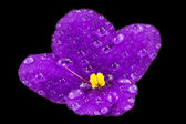 Violet flower with drops of water on black background — Стоковое фото