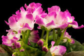 violet flowers isolated on black background — Stock Photo