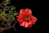 Flower of Portulaca grandiflora isolated on black — Stock Photo
